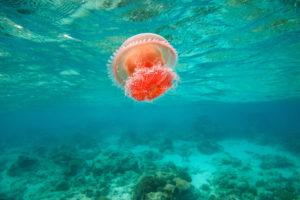 Сезон медуз на берегах Красного моря