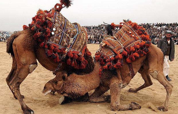 Верблюжьи бои (Camels Fighting)