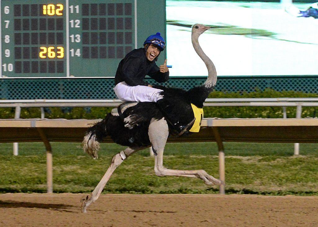 Скоростные гонки на страусах.