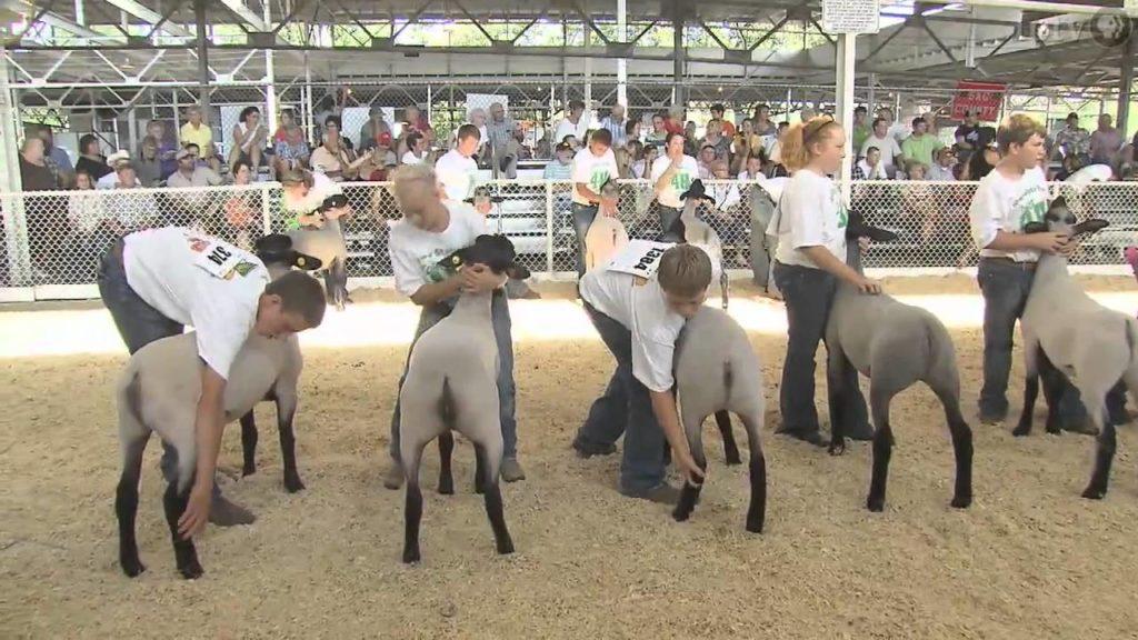 Состязания по стрижке овец