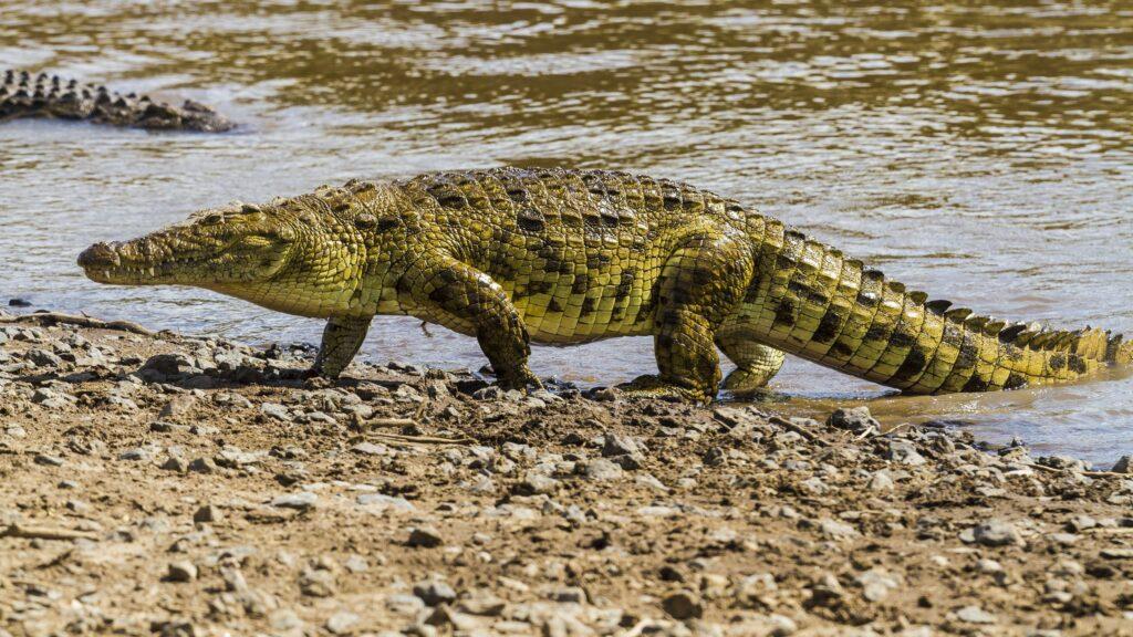 Банджиджампинг над крокодилами