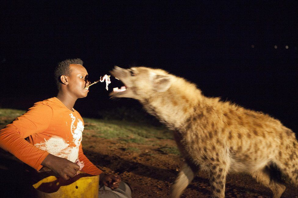 Захватывающее приключение для туристов Эфиопии: кормление гиен с палочки