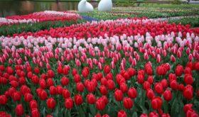 Кекенхоф –Королевский парк цветов